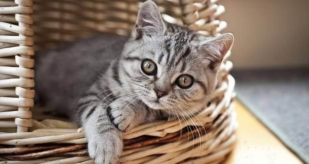 Можно ли котенка кормить сырым мясом?