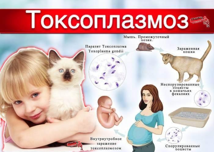 Токсоплазмоз у кошек: симптомы и лечение болезни (с фото)