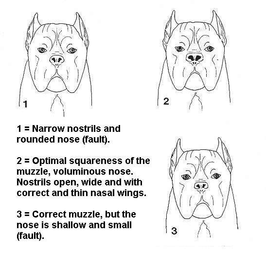 Кане корсо: стандарт породы и как выглядит собака на фото, а также ее размеры, особенности характера и воспитания