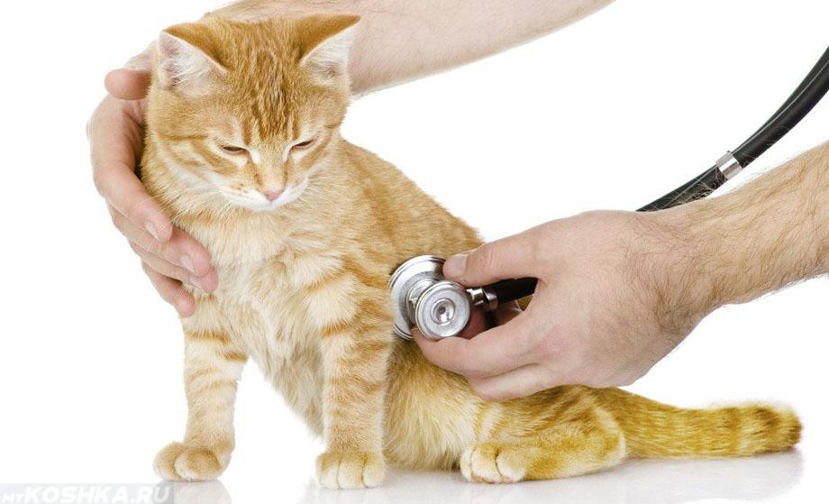 Кот простыл, чихает: что делать в домашних условиях, чем лечить, последствия