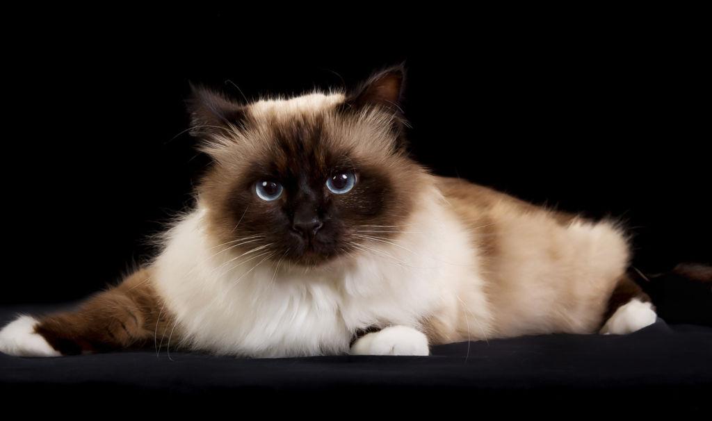 Бирманская кошка (бирма) - фото, цена котенка, описание характера и стандарта