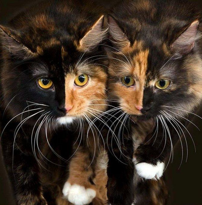 Трёхцветные кошки: породы, приметы, окрас, что приносит в дом, фото