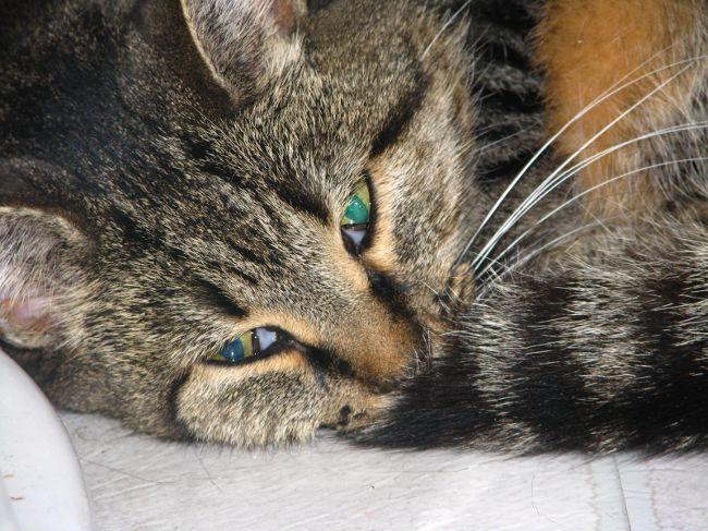 Токсоплазмоз у кошек - симптомы, лечение, препараты, причины появления   наши лучшие друзья