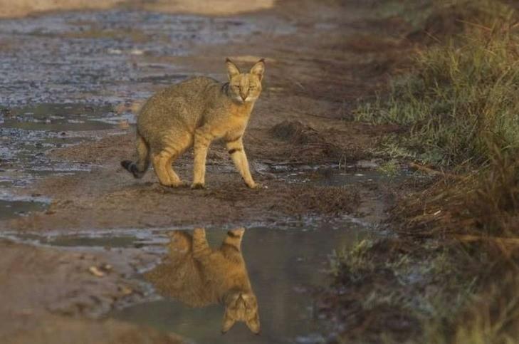 Камышовый кот — описание, фото, уход, характер, цена