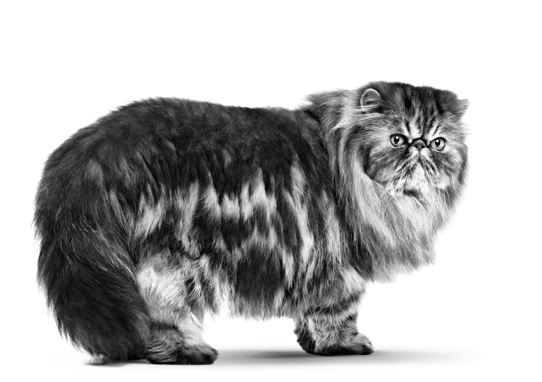 Как выглядит и как ухаживать за персидской кошкой?
