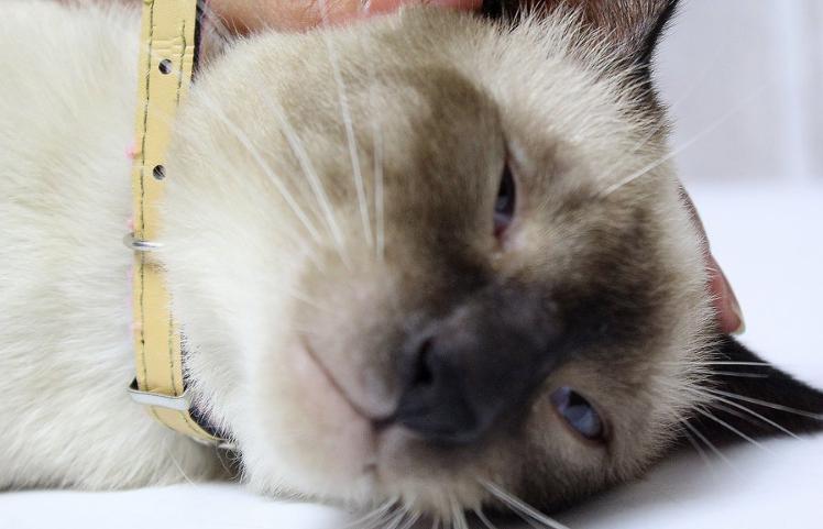 5 причин появления шишки на голове у кота - что делать