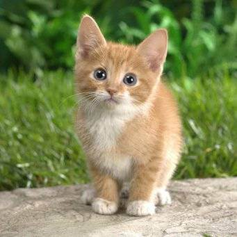 Как убедить родителей купить вам котенка: 14 шагов