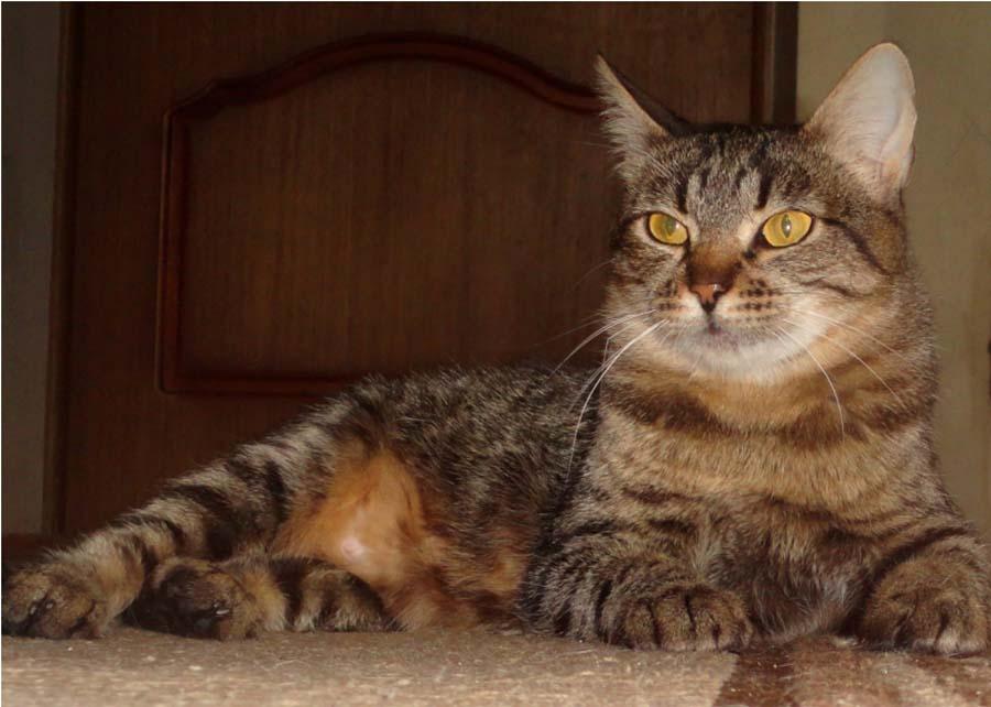 Европейская короткошерстная (кельтская) кошка: описание, характер, советы по содержанию и уходу, фото екш