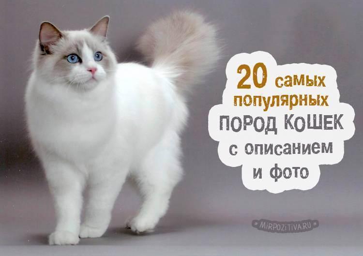 Топ 10: самые красивые породы кошек в мире — названия, краткое описание и фото