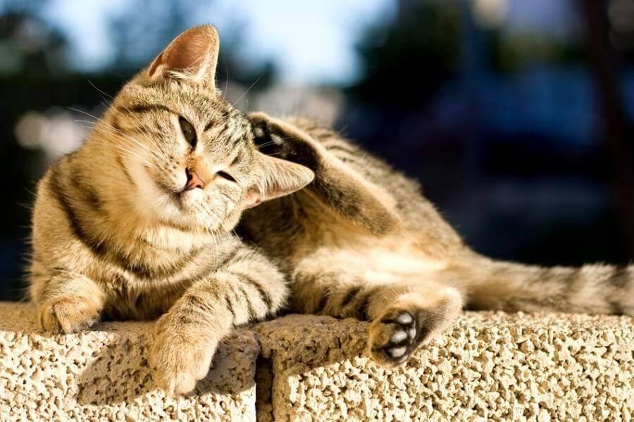 Перхоть у кошек на спине и около хвоста: причины и лечение, что делать?