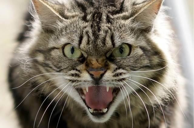 Что делать, если укусила или поцарапала кошка, как быть, если место укуса опухло (рука, нога, прочее), что такое «болезнь кошачьих царапин»