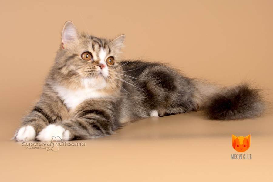 Хайленд фолд шотландская вислоухая длинношерстная кошка