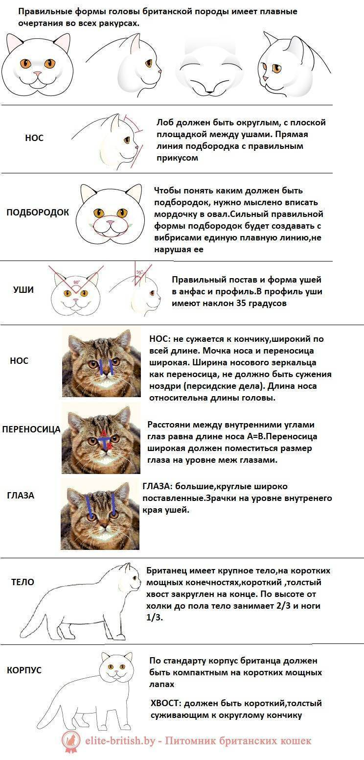 Характер шотландских вислоухих кошек