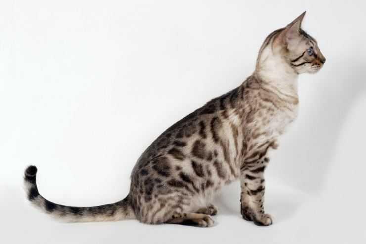 Подробно о породе кошек серенгети: внешний вид, характер и содержание