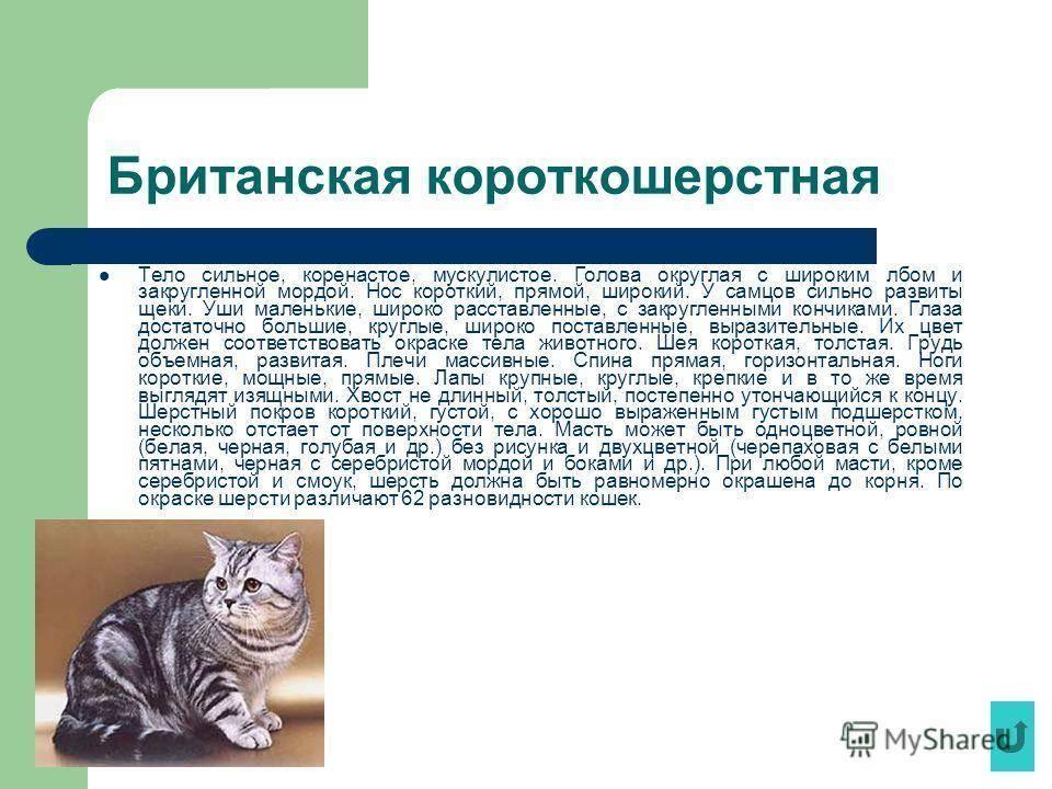 Короткошерстные породы кошек | коты с короткой шерстью с фото и названиями