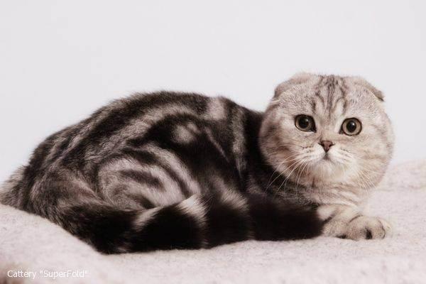 Вязка шотландской вислоухой кошки - ростки жизни