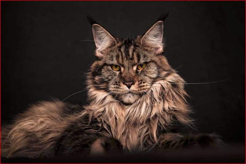 Кошки породы мейн-кун — в чем их особенность?