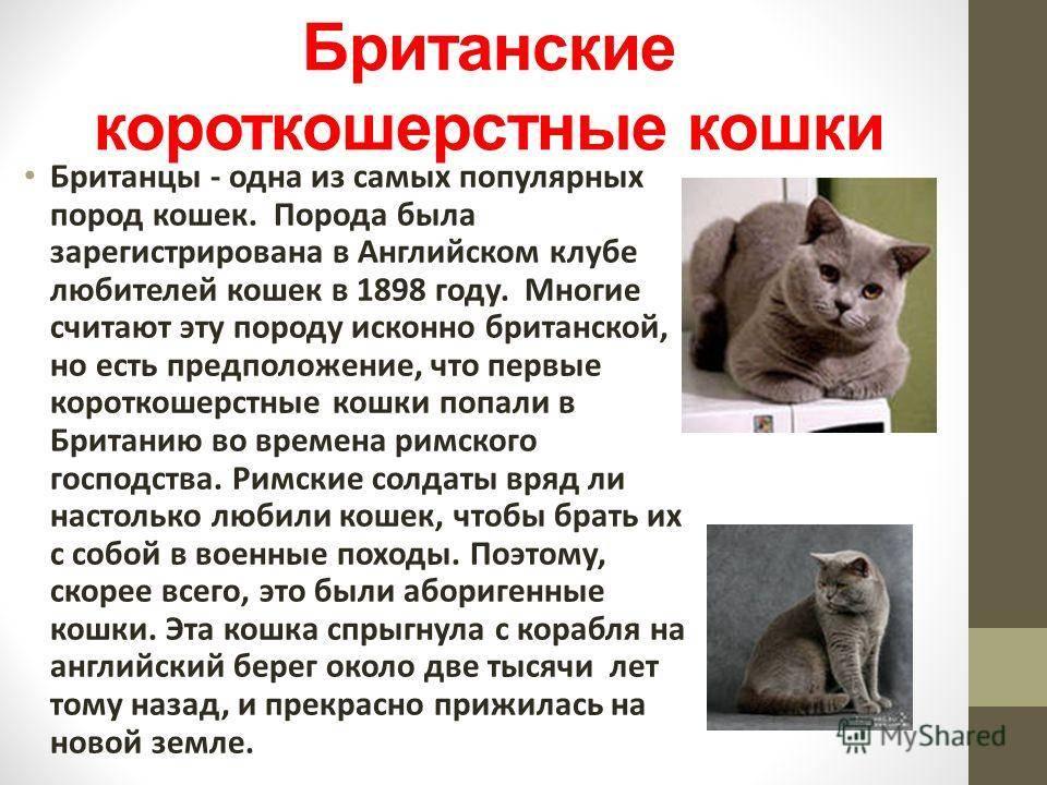 Особенности ухода за британскими кошками: как продлить жизнь своему питомцу