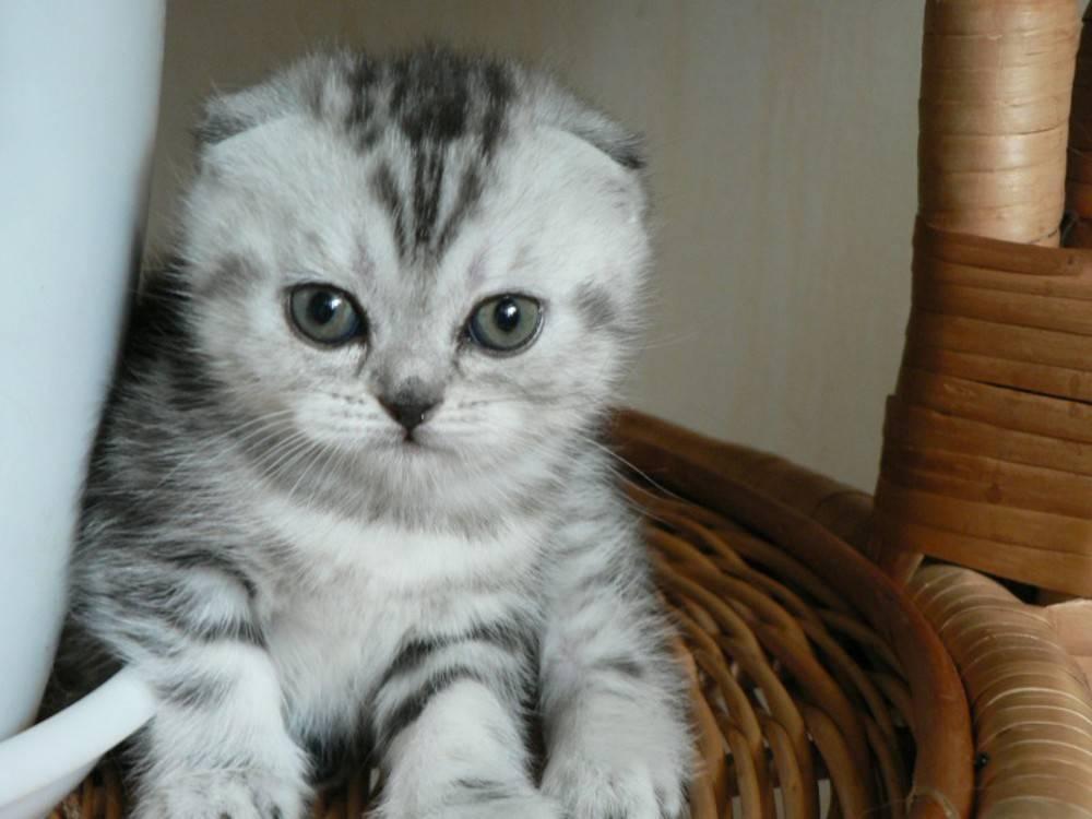 Имена для кошек девочек шотландских вислоухих, британских и обычных пород