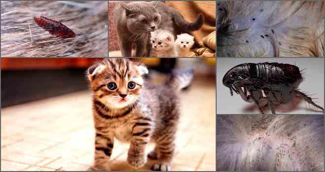 Как вывести блох у котенка в домашних условиях, как избавиться от паразитов у новорожденного