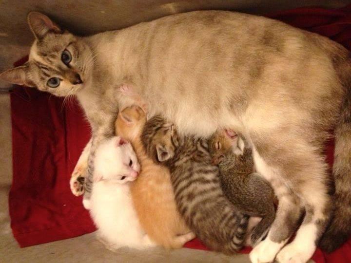 Сколько максимум котят может родить кошка
