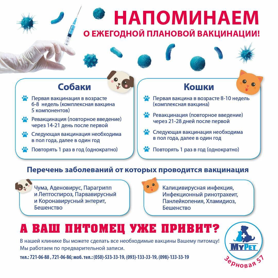 Прививки британским котятам: особенности и сроки вакцинации