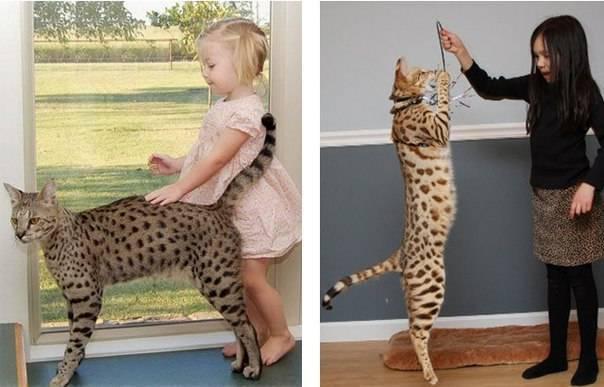 До какого возраста растут домашние коты и кошки разных пород