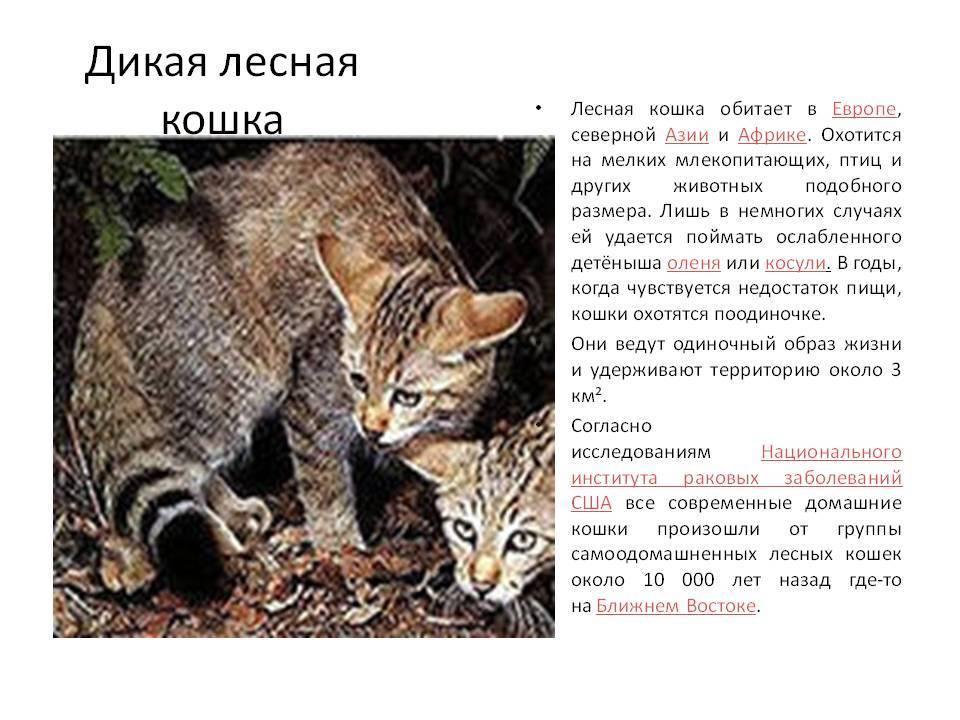 Европейский лесной кот или дикая лесная кошка из красной книги в беларуси, в россии, в америке, в зоопарке и домашних условиях