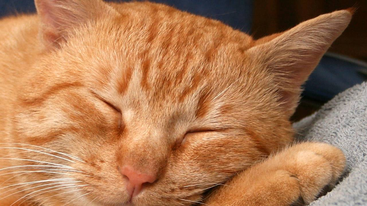 Характер и повадки рыжих котов, особенности цвета и связанные с ним приметы