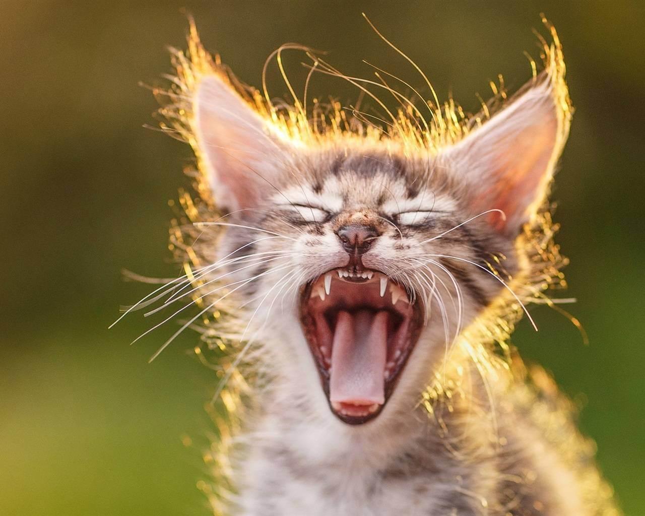 Как бороться с неприятным запахом изо рта у кота или кошки?