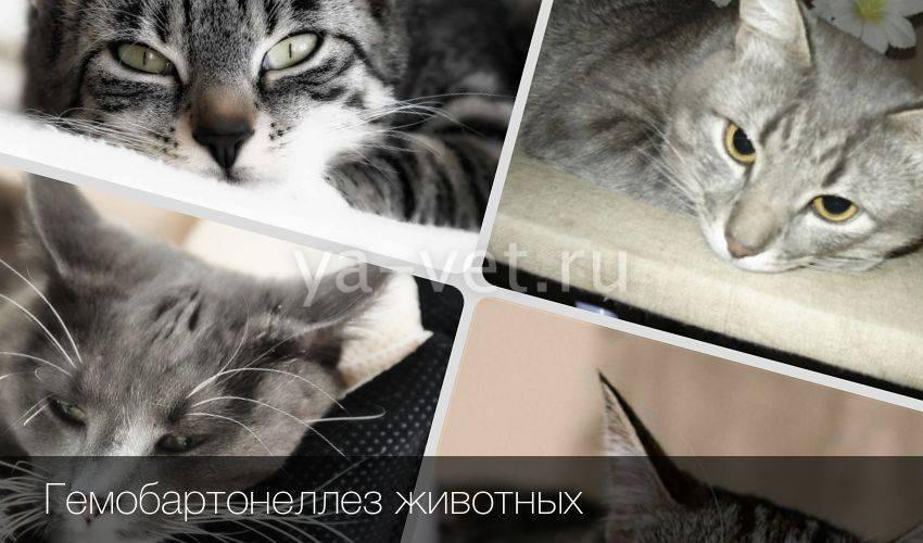 Гемобартонеллез у кошек - симптомы и лечение
