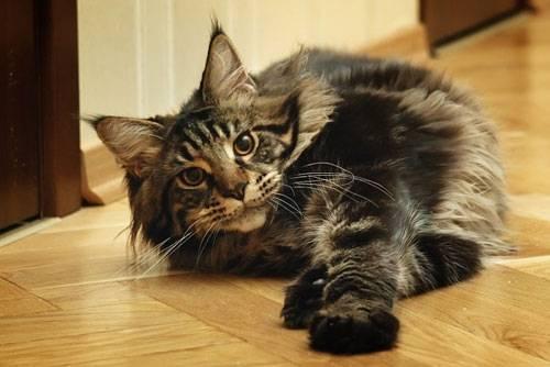 Размеры кошек мейн-кун