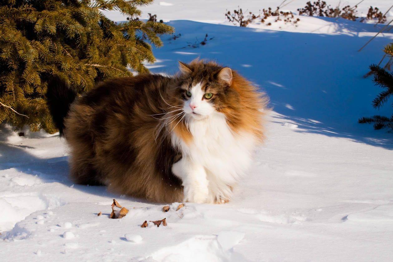 Норвежская лесная кошка (43 фото): описание котов норвежской породы, особенности характера. характеристика черных, рыжих котят и кошек другого окраса