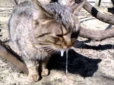 Симптомы бешенства у кошек. признаки бешенства у кошек и меры его профилактики | ветпрактика