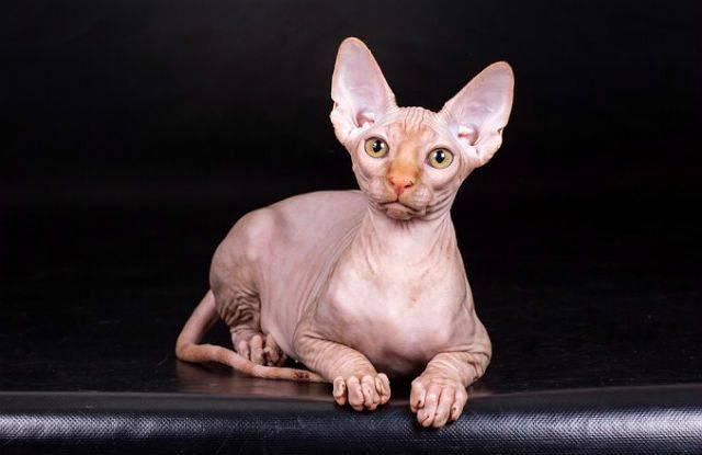 Бывают ли гипоаллергенные кошки: какая порода подойдёт аллергику