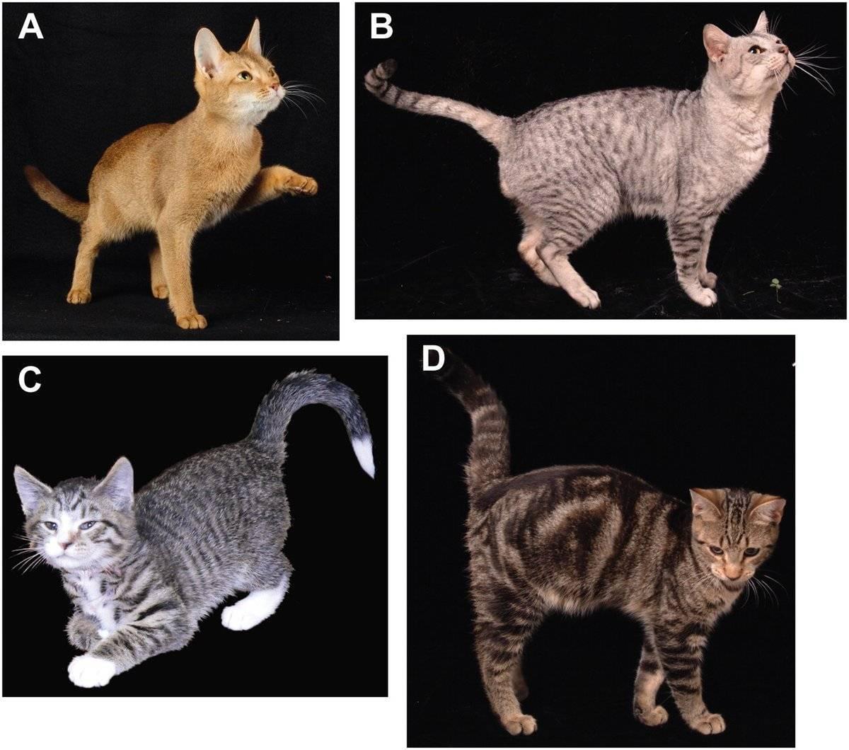 Гладкошерстные кошки | список пород с фото и названиями
