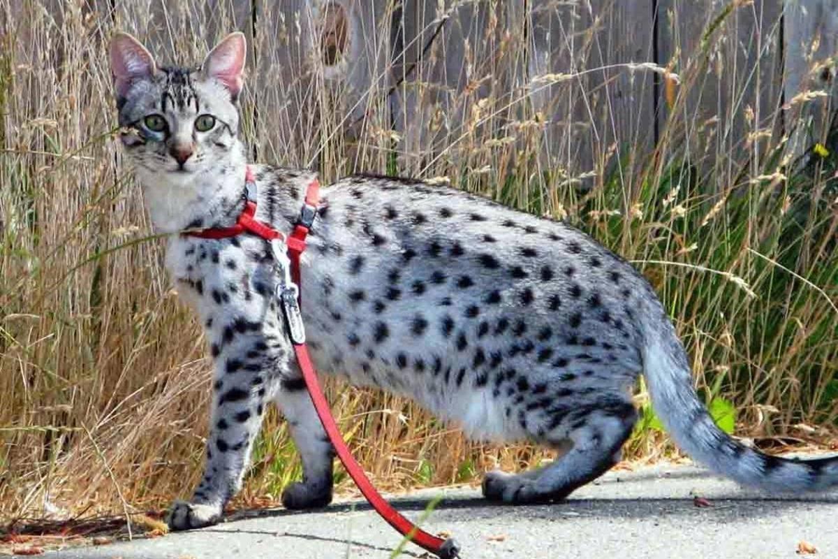 Порода больших кошек: гигантские домашние любимцы