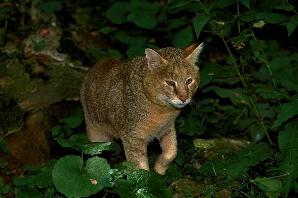 Чауси (домашний камышовый кот) - о содержании камышового кота в домашних условиях - всё о кошках и котах