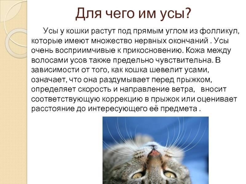 Что будет, если коту обрезать усы - почему нельзя обрезать - kotiko.ru