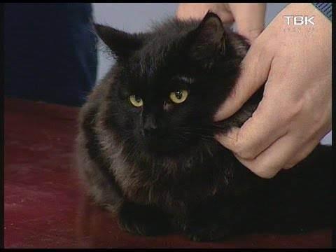 Мочекаменная болезнь у котов: симптомы и лечение. признаки мочекаменной болезни у котов