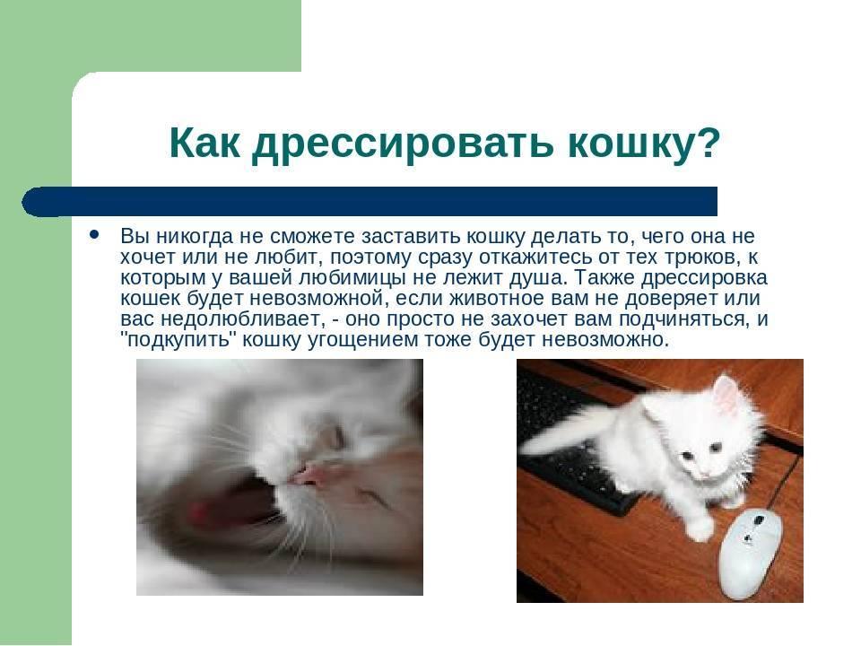 Как дрессировать кошку в домашних условиях: основы дрессировки для начинающих