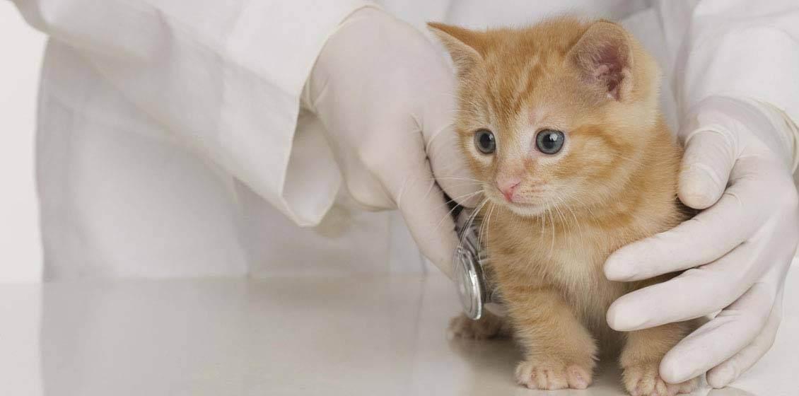 Прививки котятам. какие прививки делают котятам? прививки британским котятам