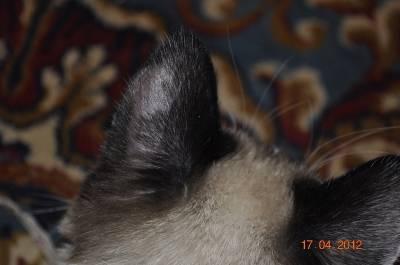 Залысины у кошки: как отличить норму от патологии?