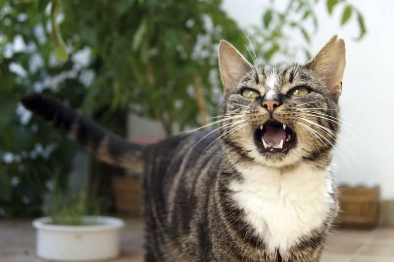 Как отучить кота метить территорию в квартире: эффективные методы