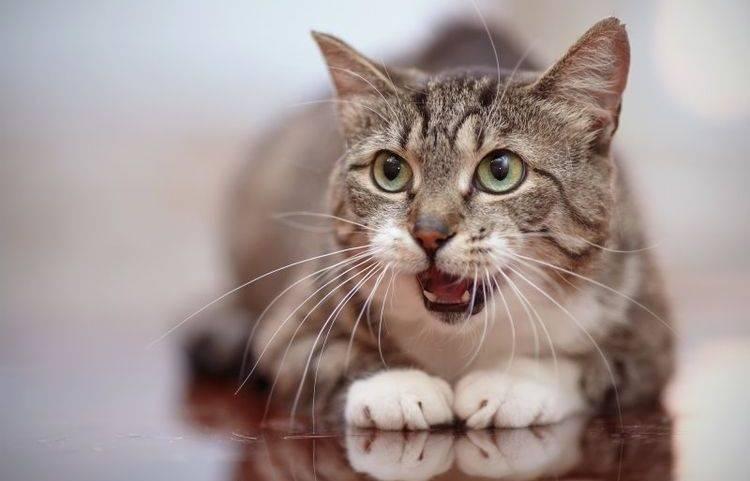 Почему у кошки торчит кончик языка: причины естественные и патологические