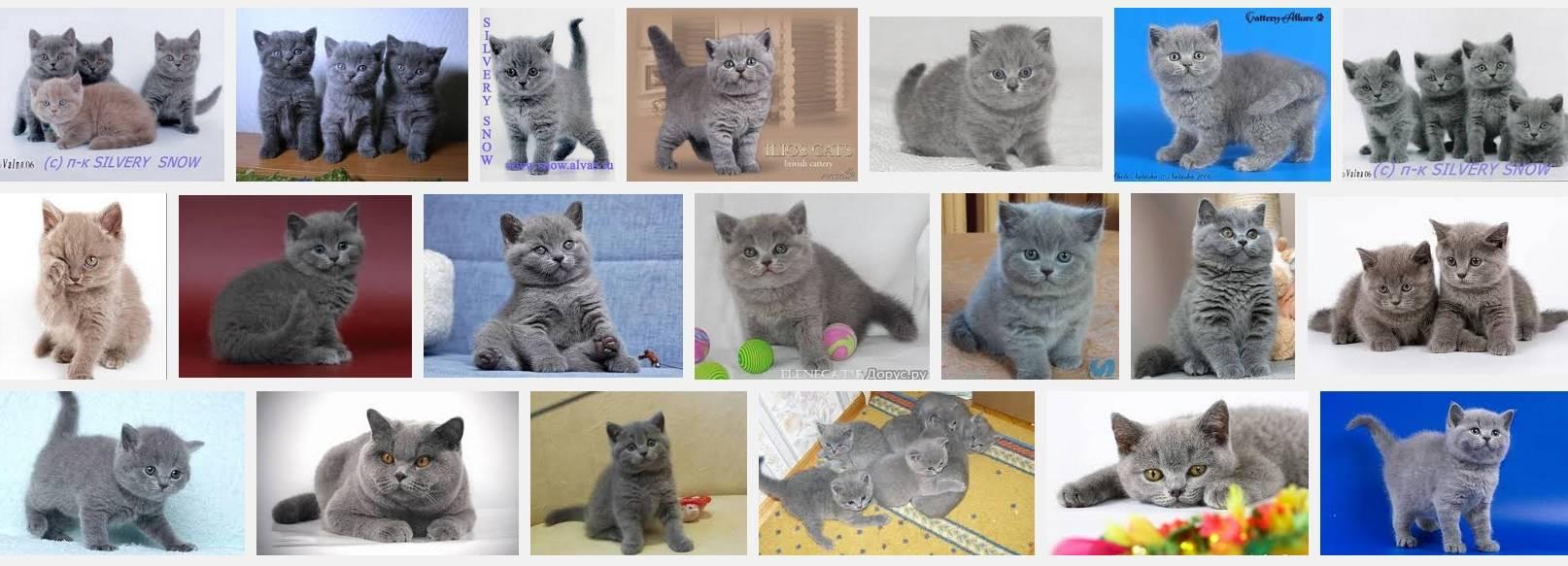 Выбираем британского короткошерстного котенка: как, где и почем; отзывы о характере кошек