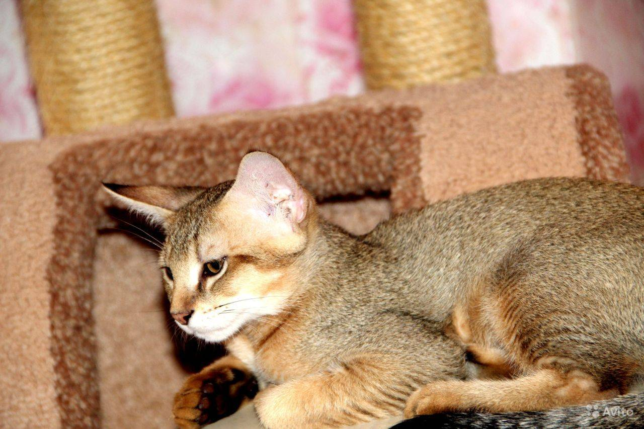 Камышовый кот — сколько стоит, и можно ли держать такого питомца в домашних условиях. подробный обзор породы с фото и видео