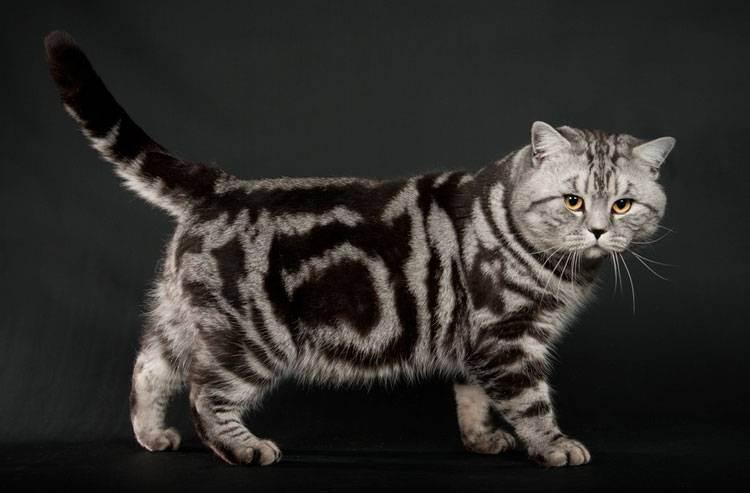 Британские кошки окраса табби (18 фото): описание котят серебристого и мраморного, голубого и браун, тигрового и других видов окраса