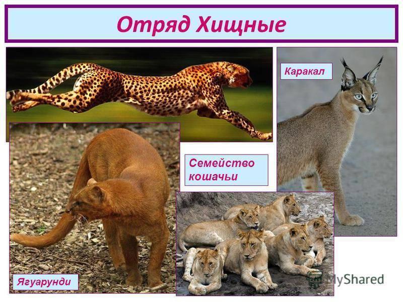 Дикие кошки: породы с фотографиями и названиями