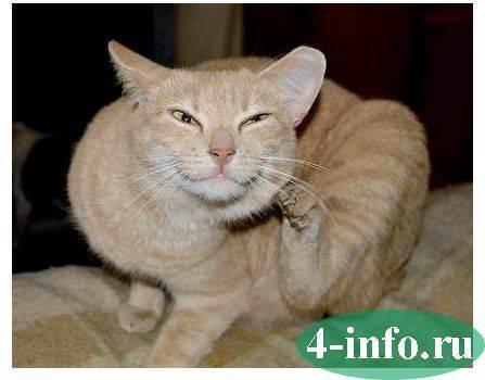 Кот трясет головой и чешет уши: возможные причины. как чистить уши кошке в домашних условиях